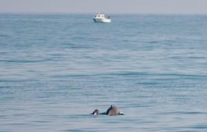 Harbour Porpoises by AK Wildlife Cruises