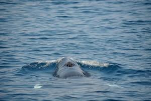 Minke Whale by AK WIldlife Cruises.