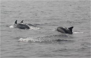 Minke Whale by Marine Discovery Penzance.