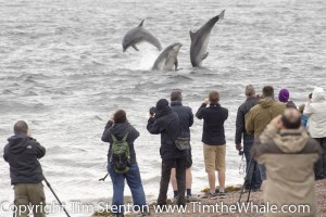 Bottlenose dolphins putting on a show an Chanonry Point, Moray Firth by Tim Stenton.