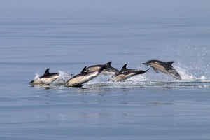 Common dolphins off the Pembrokeshire Coast by Paul Turkentine.