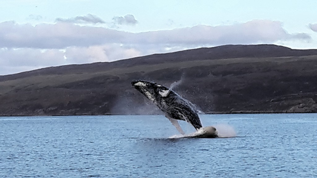 Photo 1: a humpback whale breach snapped on a mobile phone by fisherman Brian Wells in the Sound of Raasay last autumn.
