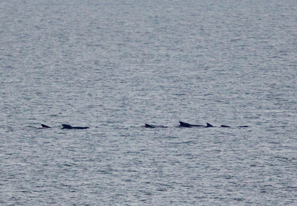 Long-finned pilot whales photographed off Weybourne by Sea Watch Regional Coordinator, Carl Chapman.