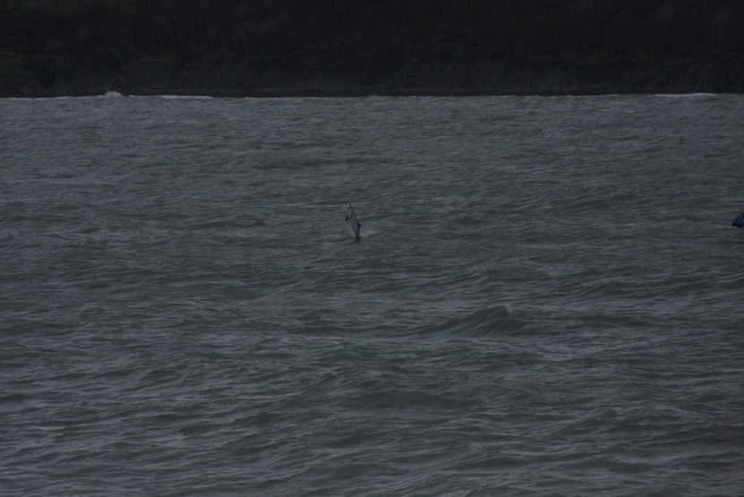 'Stormy' the solitary common dolphin in New Quay harbour.