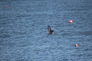 'Stormy' the short-beaked common dolphin in New Quay harbour photographed by Ken Pilkinton/ Sea Watch Foundation.