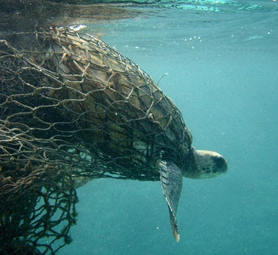 Turtle trapped in netting