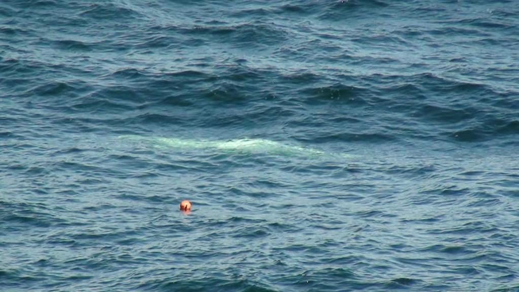 Beluga_Whale_Dunseverick_2
