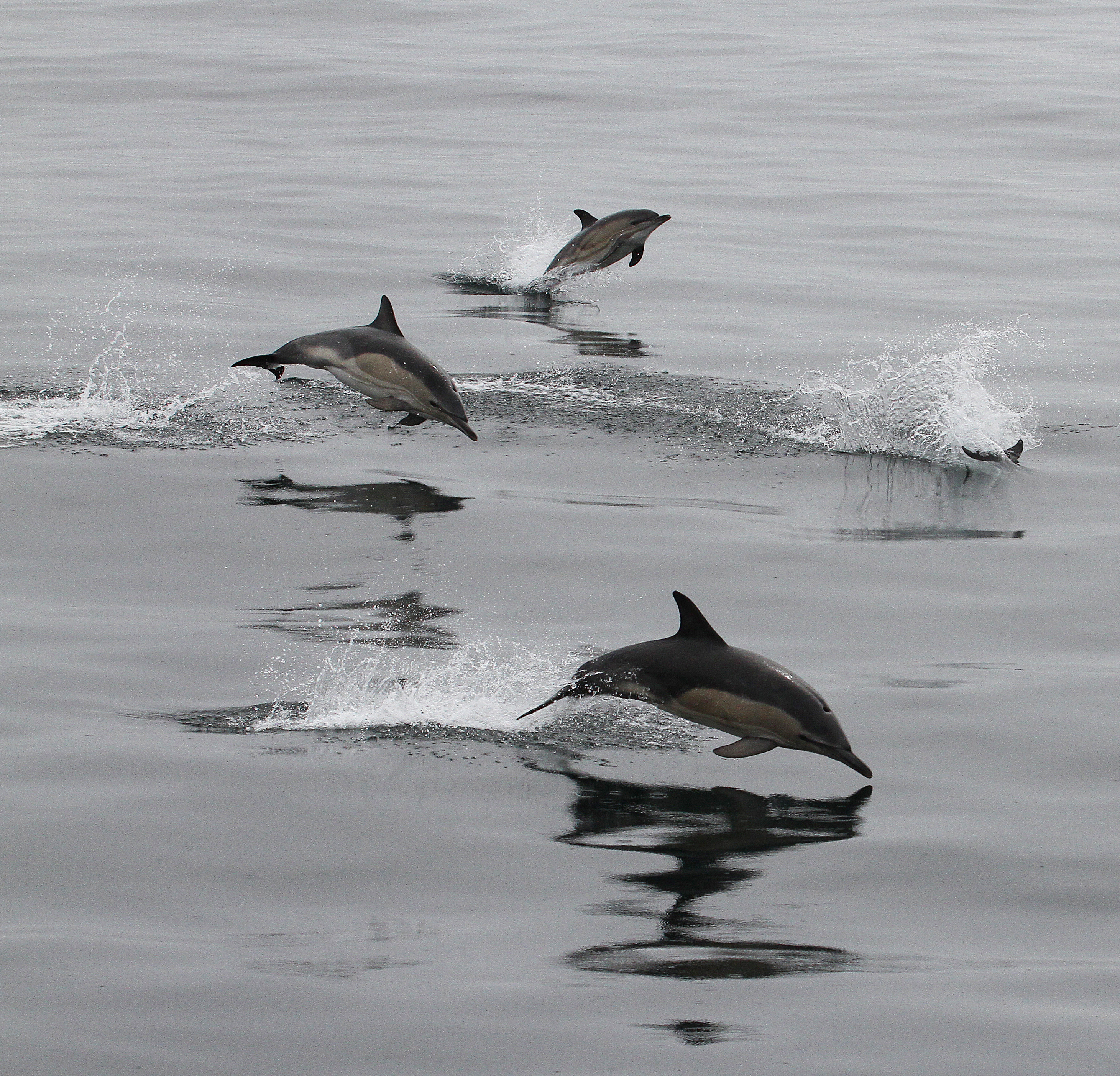 Common Dolphin_0092