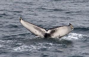 humpback fluke_peterevans