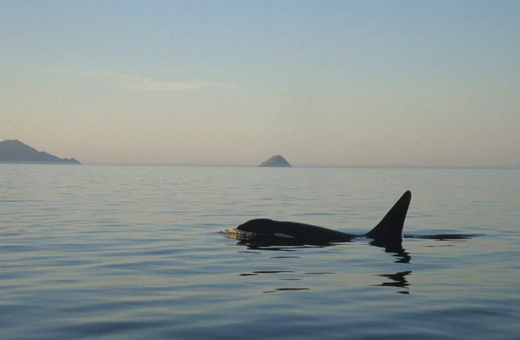 Solitary killer whale, often known as the Orca. Photo by C Swann/ Sea Watch Foundation.