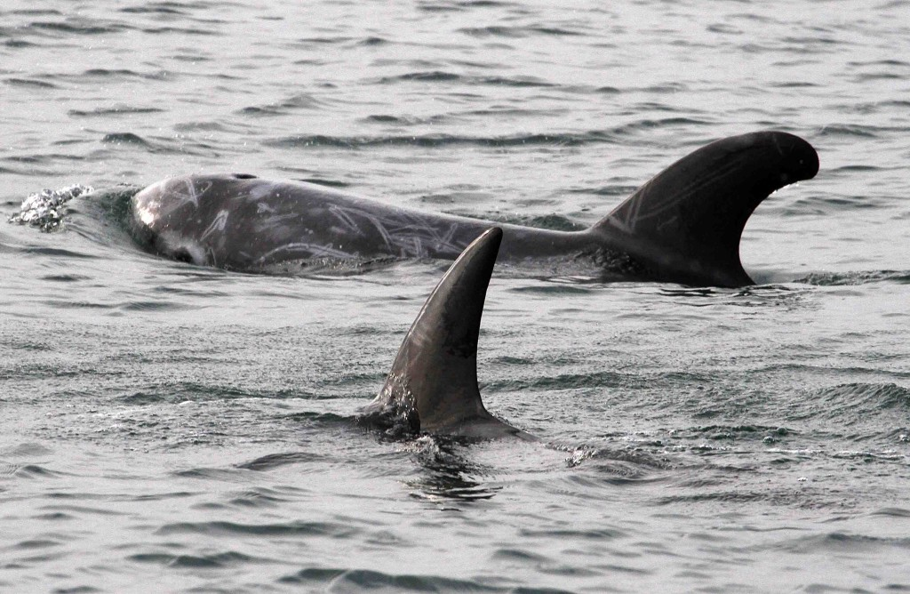 Sea Watch Foundation » Killer whale seen eating seal pup ...
