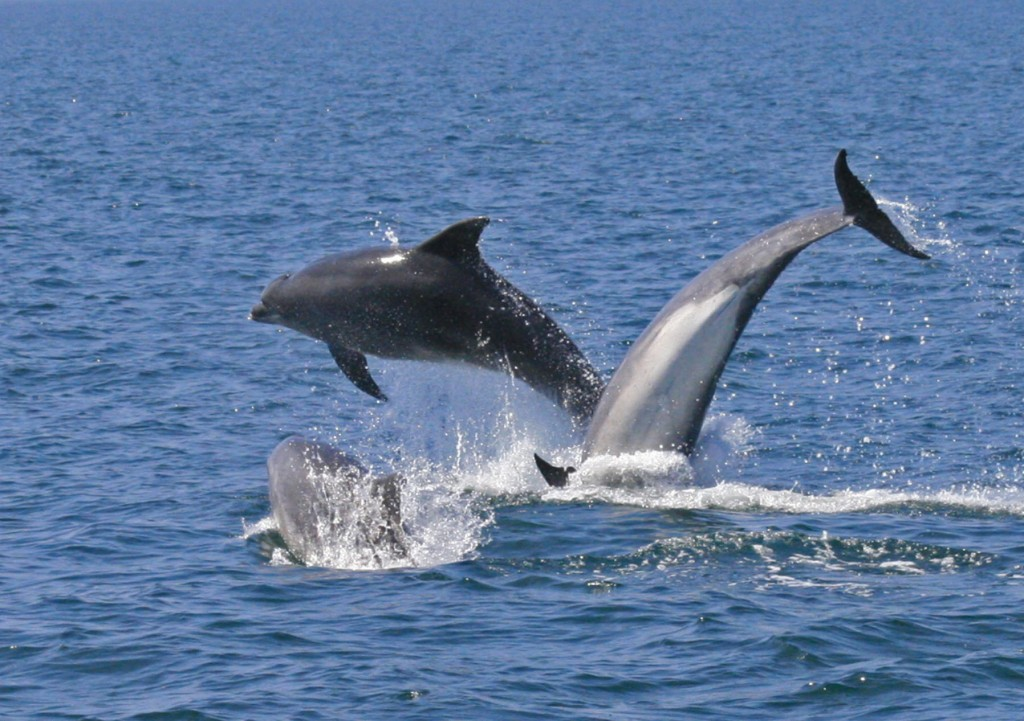 Bottlenose dolphins off the North Wales coast. Photo by Katrin Lohrengel/ Sea Watch Foundation