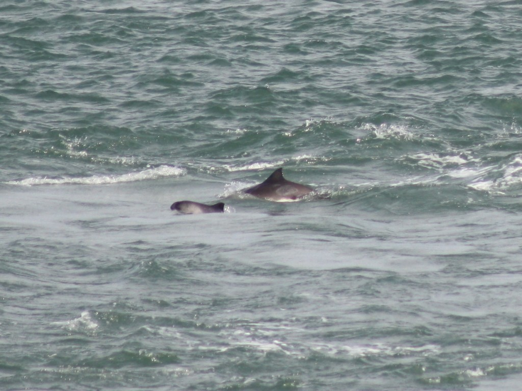 Mother and calf harbour porpoise taken by Welsh Sea Watcher Ben Murcott/ Sea Watch Foundation