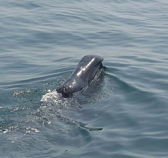 The bowhead whale photographed in the mouth of Carlingford Harbour, Co. Lough by Carlingford Lough Pilots Ltd.