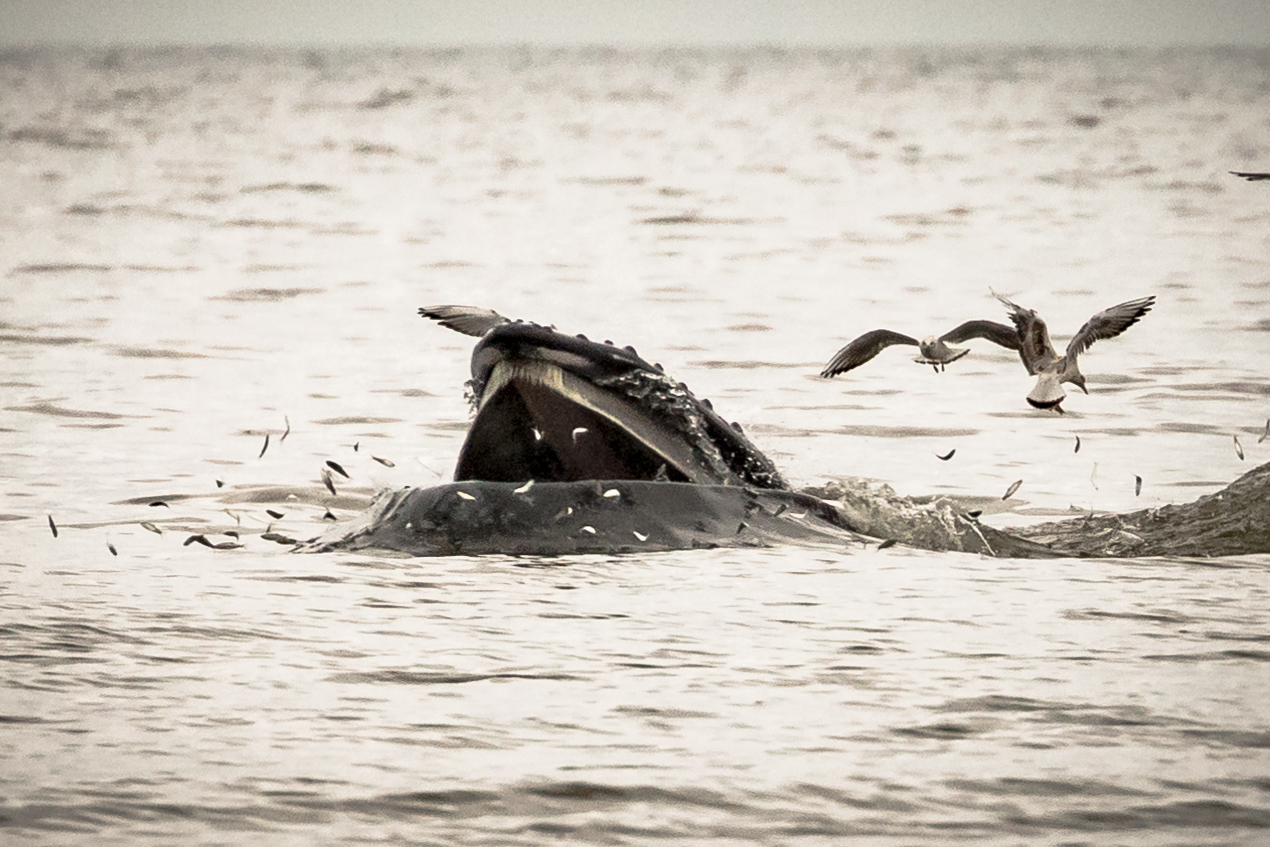 a4b0bdd95a55 Sea Watch Foundation » Humpback whale wowing observers from the ...