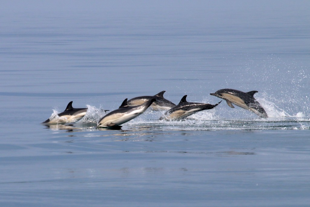 Common dolphins off the Pembrokeshire Coast. Image credit: Paul Turkentine.