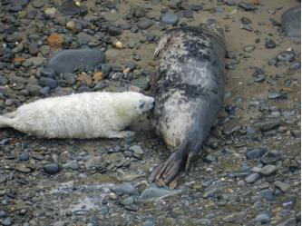 seal-pup-taken-by-mike-and-sue