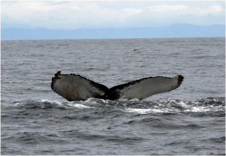 Tail fluke of a humpback whale. Photo credit: Alan Airey