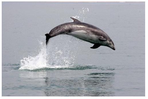 bottlenose-dolphin-seawatch