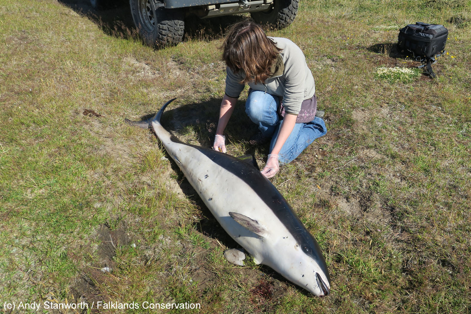 c32bc97e9f0b Caroline sampling a freshly-dead dead spectacled porpoise in the Falkland  Islands.