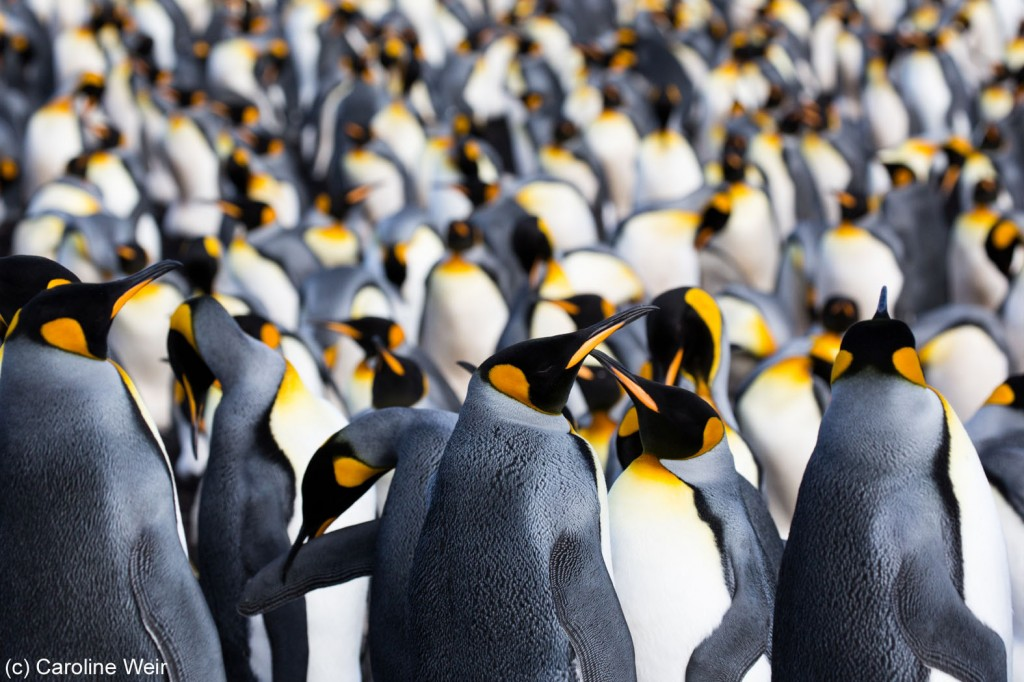 A colony of king penguins at Volunteer Point in the Falkland Islands.