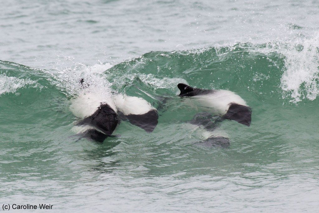 Commerson's dolphins surfing the waves at Bertha's Beach.