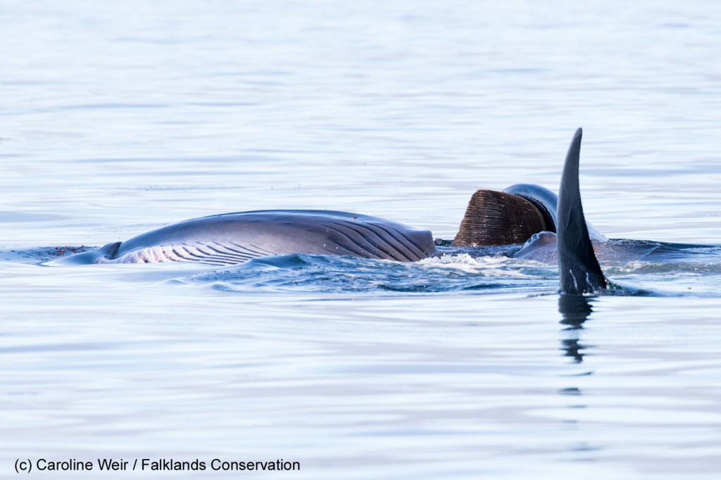 Sei whale gulping lobster krill at the surface. Photo credit: Caroline Weir / Falklands Conservation.