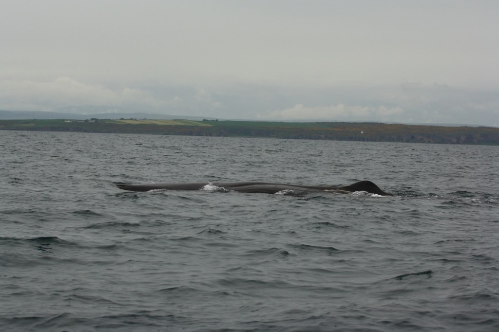 Fig. 1 Sperm Whale spotted in North Sea, Burghead (Moray) [Photo credit: Pippa Low/North 58]