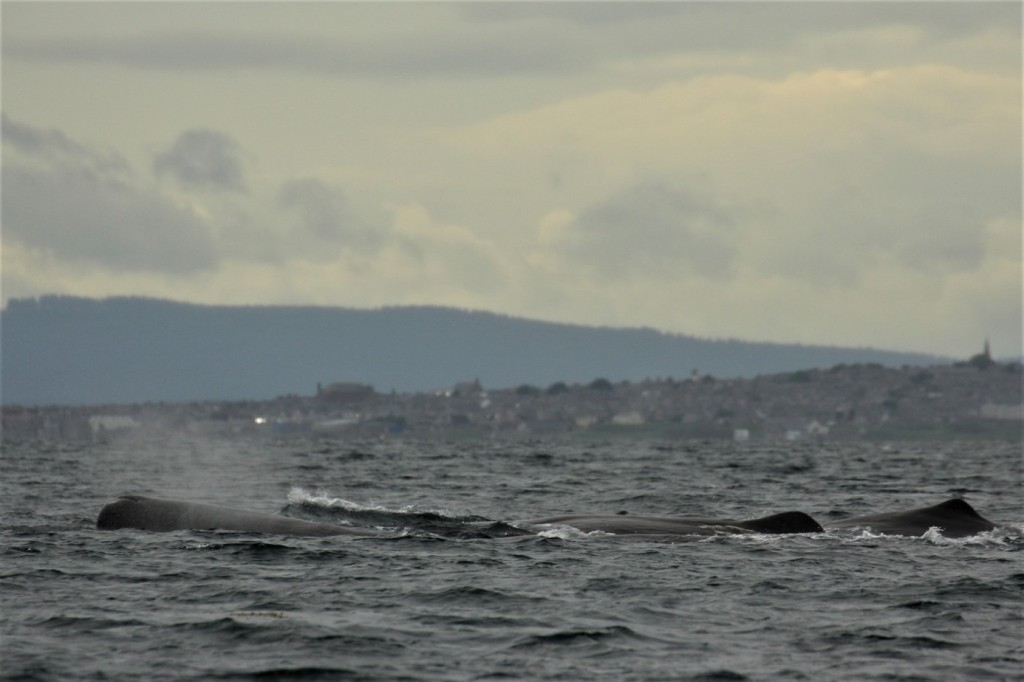 Fig. 3 Sperm Whale spotted in North Sea, Burghead (Moray) [Photo credit: Pippa Low/North 58]