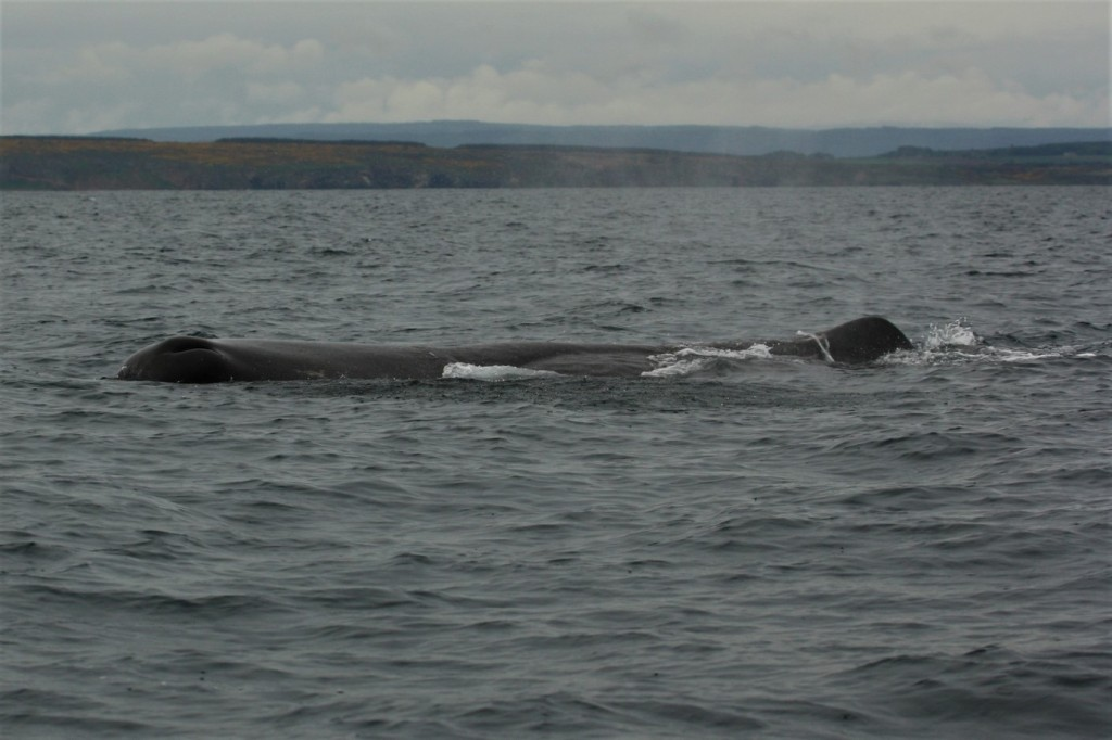 Fig. 2 Sperm Whale spotted in North Sea, Burghead (Moray) [Photo credit: Pippa Low/North 58]
