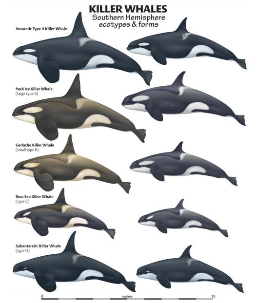Orca ecotypes - http://swfsc.noaa.gov/uploadedImages/Divisions/PRD/Programs/Ecology/Killer%20Whale%20Poster%20-%20final.jpg?n=1491