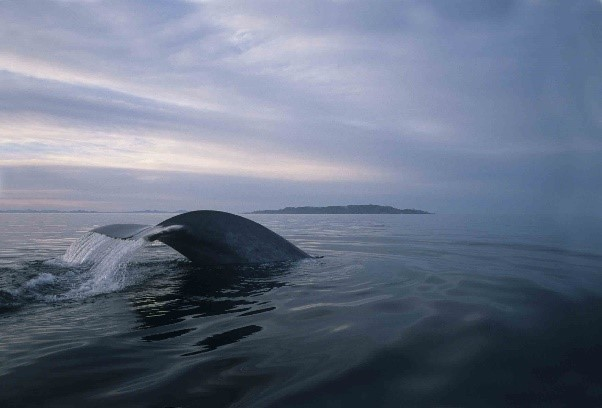A blue whale raises its tail flukes out of the water before diving.