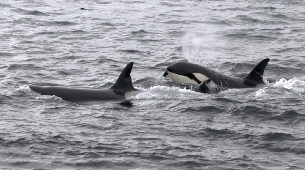 Among the incredible species to be seen around our shores are the enigmatic killer whale!  These were photographed from the shore at Wick just a number of weeks ago. (Photo: Colin Bird/ Sea Watch Foundation)