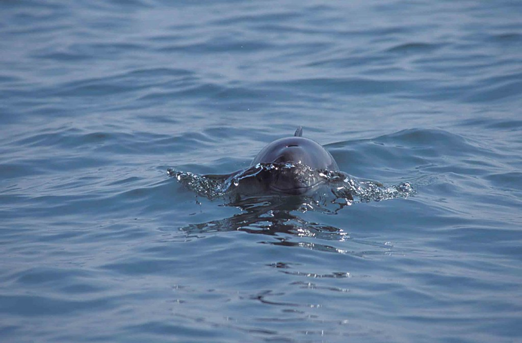 As the smallest of the UK's cetaceans, harbour porpoise are often over-looked despite being the most widespread to be spotted. (Photo: Mick Baines/ Sea Watch Foundation).