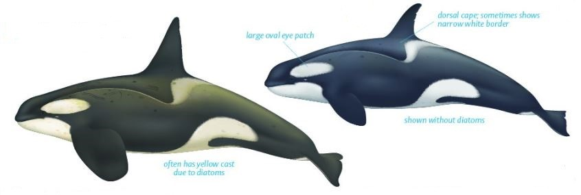 http://swfsc.noaa.gov/uploadedImages/Divisions/PRD/Programs/Ecology/Killer%20Whale%20Poster%20-%20final.jpg?n=1491