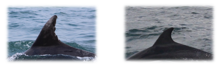 Dolphin ID: Both pictures are of Bottlenose Dolphins (Tursiops truncatus), taken in Cardigan Bay, Wales. The pictures highlight the extreme differences that can be found in fin shape and appearance within the same species. The process does have its limitations when it comes to identifying individuals with unmarked fins as pictured above, however high quality photos can be enhanced to help identify smaller, less obvious markings. Photo Credit ©Anna Lucey/Sea Watch Foundation