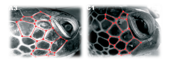Turtle ID: Above is an image taken from Reisser et al., 2008 demonstrating the difference in  scute facial patterns of two Green Turtles (Chelonia mydas).