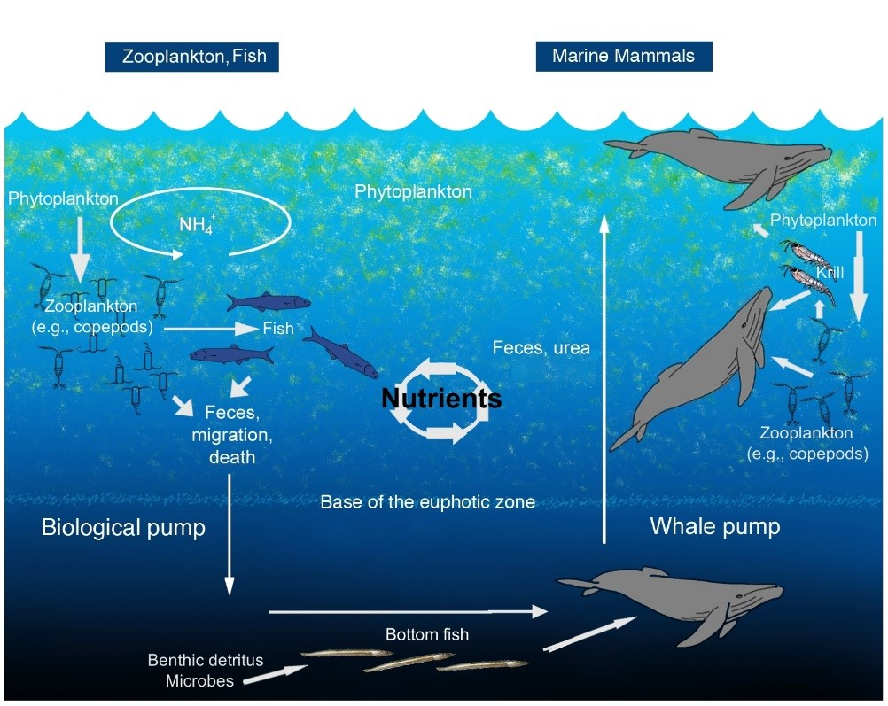 An illustration of the oceanic whale pump showing how whales cycle nutrients through the water column.