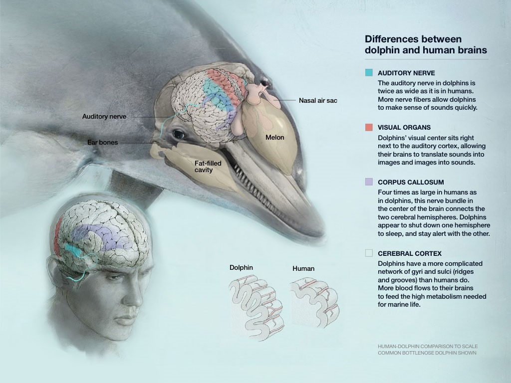 http://ngm.nationalgeographic.com/2015/05/dolphin-intelligence/brain-graphic