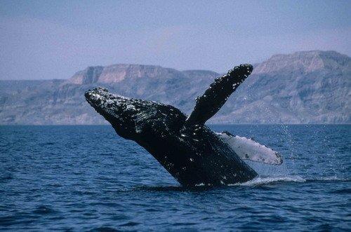 A humpback whale breaching. Photo credit: R.W. Baird.
