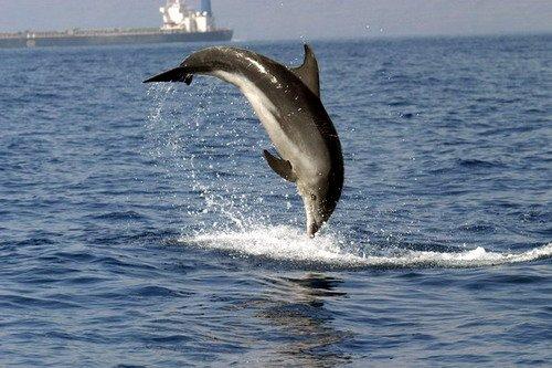 Figure 2: Bottlenose dolphin breaching. (Credit: B. Brederlau).
