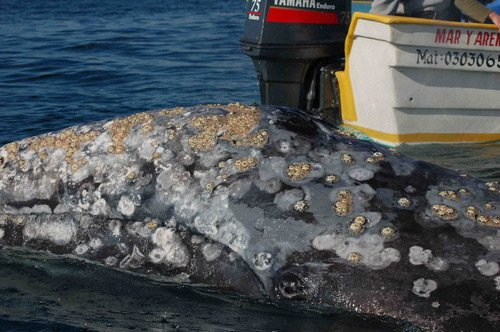 Figure 3. Barnacles on the head of a gray whale. (Credit: L. Handley).