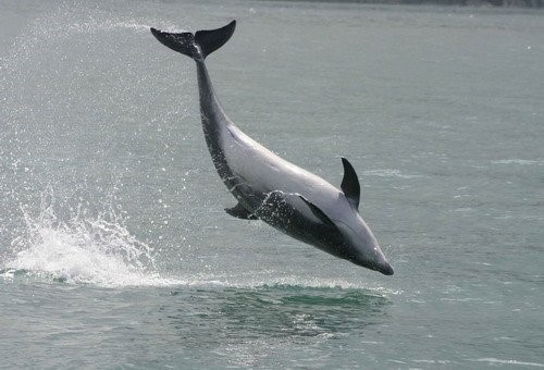 A breaching bottlenose dolphin. Photo credit: D Feingold