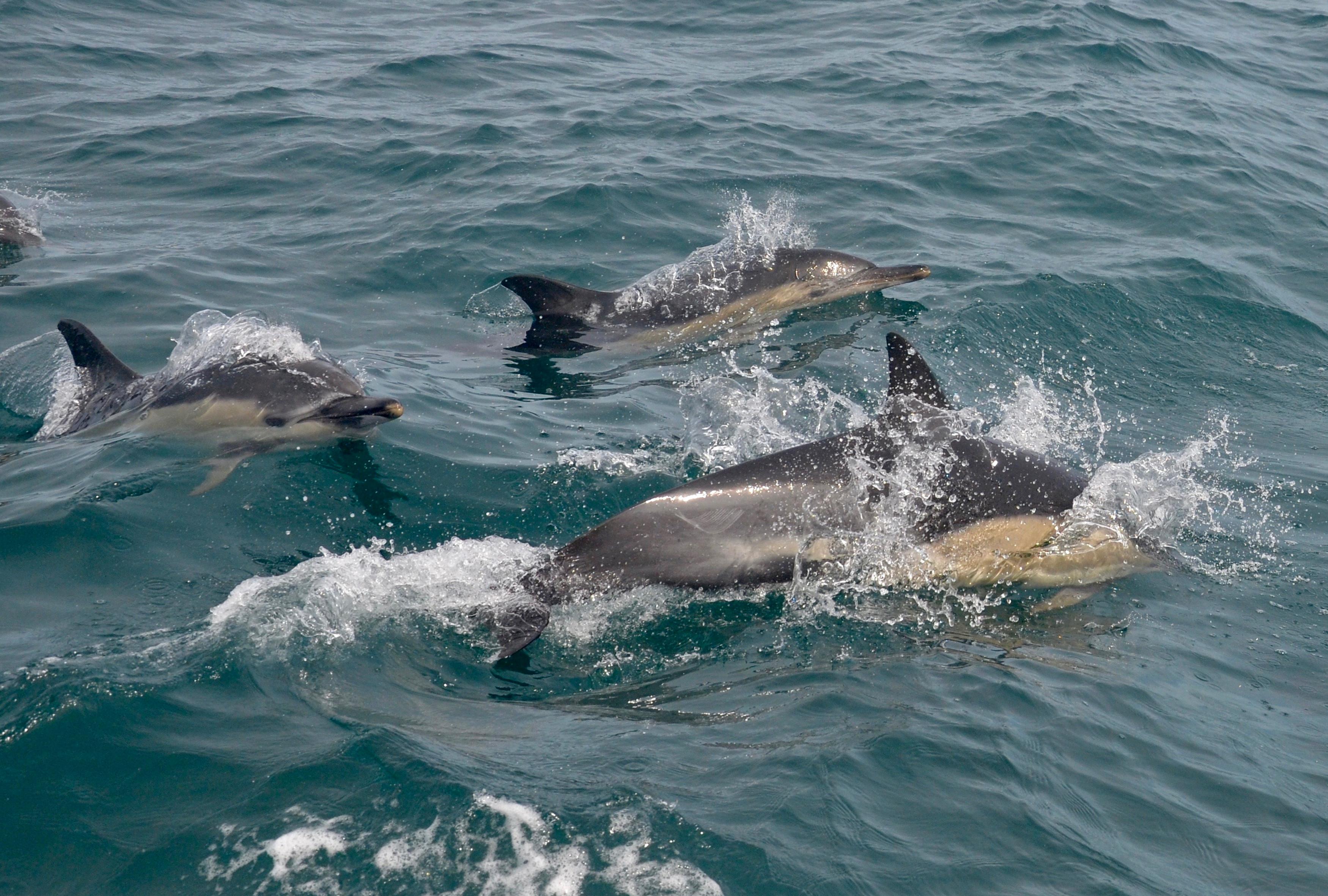 common dolphins SWF