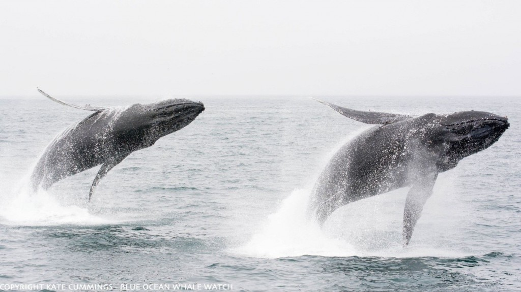 Two associated individuals breaching the water in synchronisation. Photo ©Kate Cummmings – Blue Ocean Whale Watch.