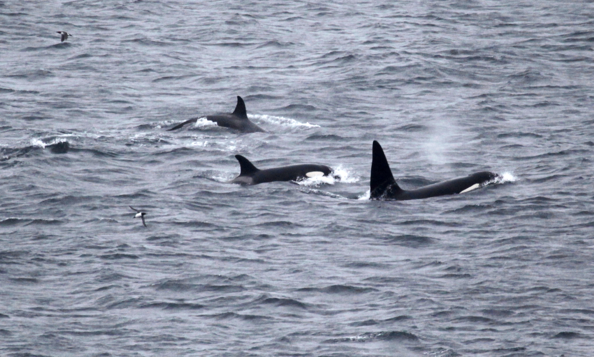 Killer whales photographed from the land during Orca Watch. Photo by Colin Bird/ Sea Watch Foundation