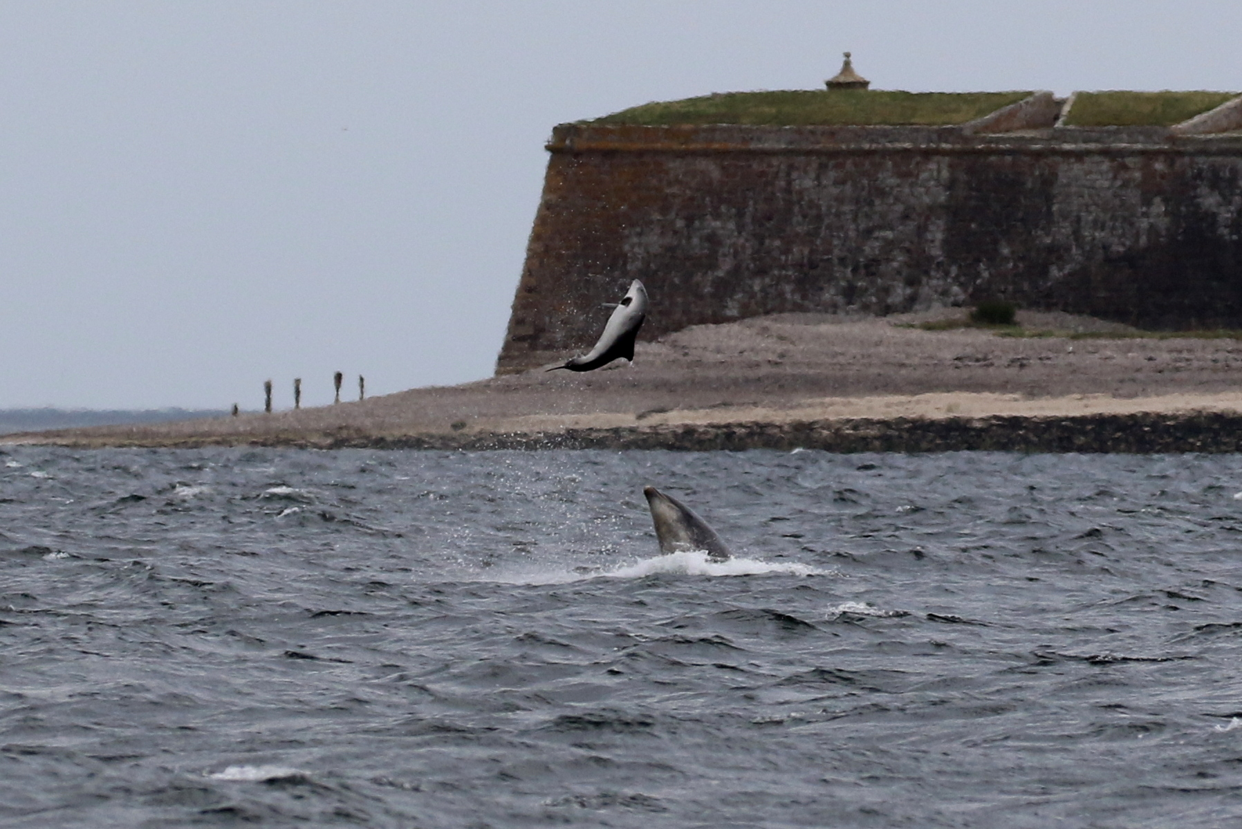 Bottlenose dolphin tossing a harbour porpoise up in the air on May 11th. Copyright: Alister Kemp.