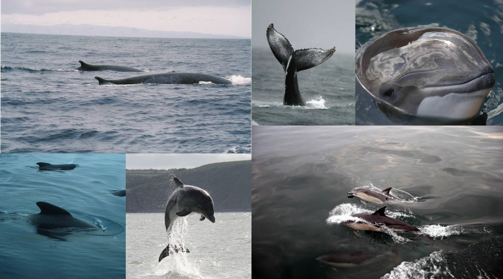 A small selection of the different cetacean species found around the UK.
