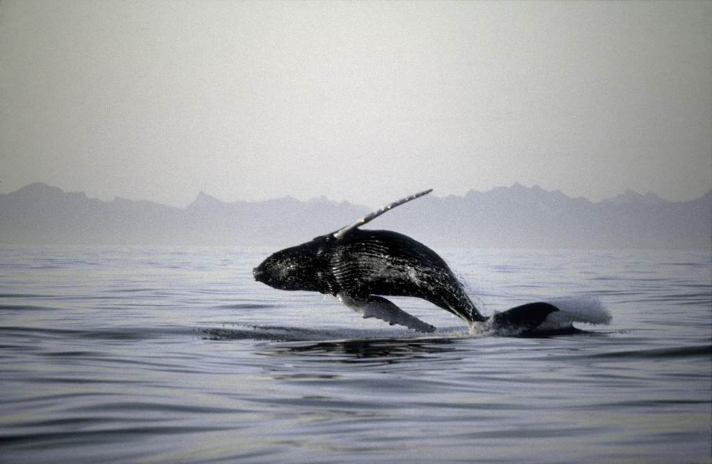 Picture of a breaching Humpback whale curtsey of Fugarte.