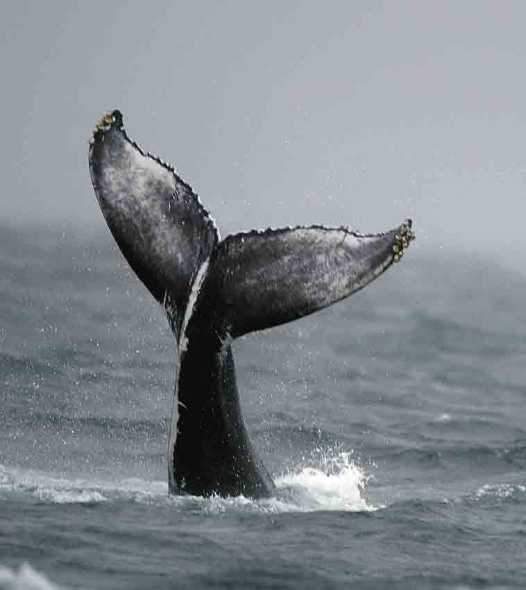 A humpback whale fluke shows distinctive colour patterns that can be used to identify individual animals. Picture curtsey of SRound.